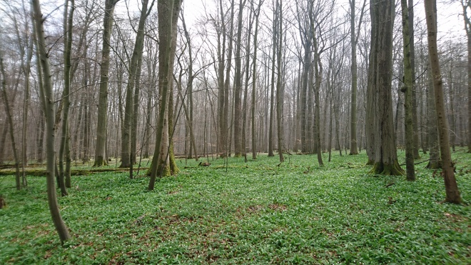When the overstory deciduous trees are still leafless, the understory vegetation, taking advantage of ample light reaching the forest floor, can dominate the top-of-canopy signal in the spring. ICOS site Hainich on April 12, 2018. Author: Jan Pisek